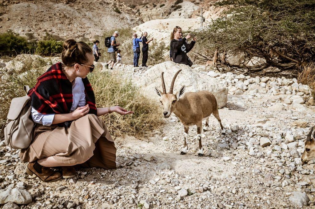 Koziorożce w Izraelu koziorożec nubijski