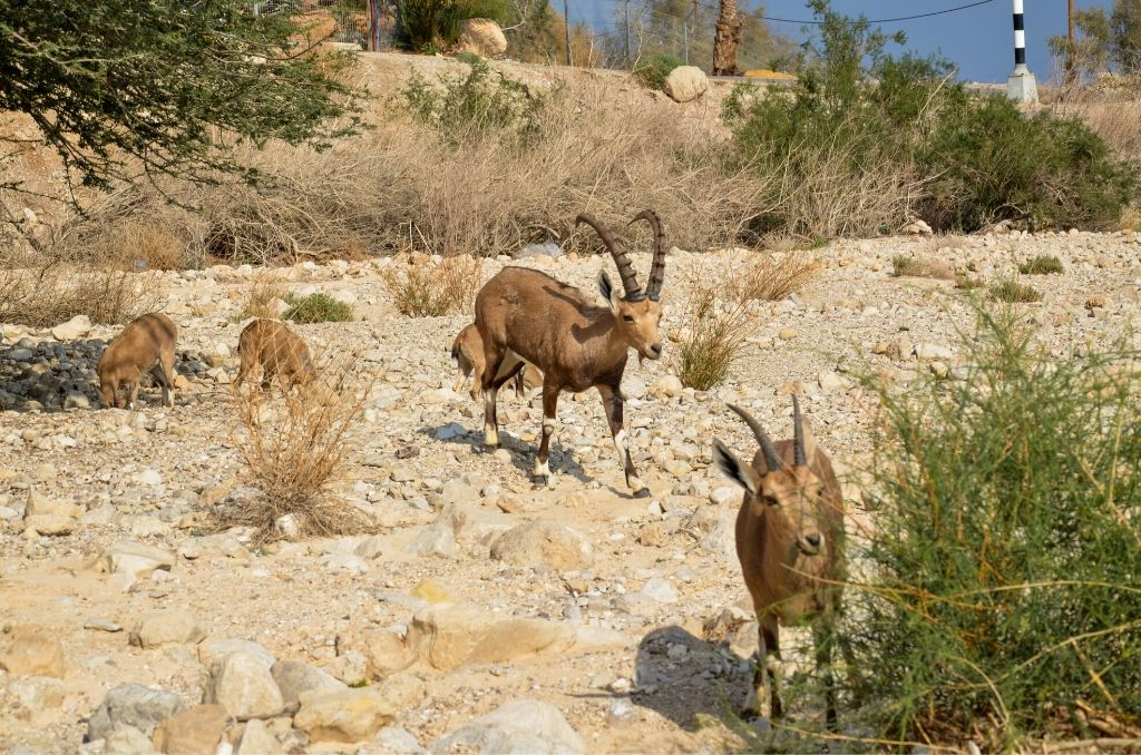 Zwierzęta w Parku Ein Gedi koziorożec nubijski