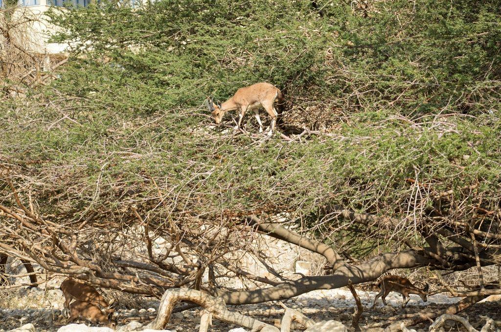 Koza na drzewie w Parku Ein Gedi koziorożec nubijski